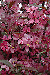 Royal Raindrops Flowering Crab (Malus 'Royal Raindrops') at The Growing Place