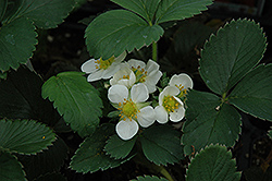 Honeoye Strawberry (Fragaria 'Honeoye') at The Growing Place