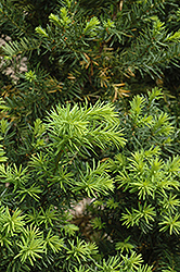 Hicks Yew (Taxus x media 'Hicksii') at The Growing Place