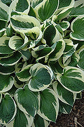 Patriot Hosta (Hosta 'Patriot') at The Growing Place