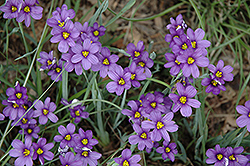 Lucerne Blue-Eyed Grass (Sisyrinchium angustifolium 'Lucerne') at The Growing Place