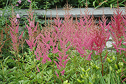 Visions in Pink Chinese Astilbe (Astilbe chinensis 'Visions in Pink') at The Growing Place