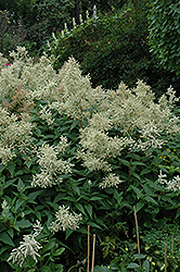 White Fleeceflower (Persicaria polymorpha) at The Growing Place