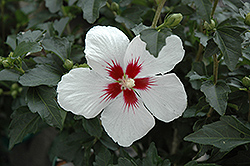 Lil' Kim® Rose of Sharon (Hibiscus syriacus 'Antong Two') at The Growing Place