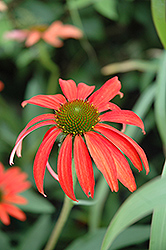 Tomato Soup Coneflower (Echinacea 'Tomato Soup') at The Growing Place