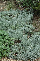 Cotton Lavender (Santolina chamaecyparissus) at The Growing Place