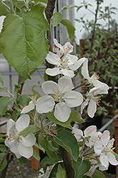 Gala Apple (Malus 'Gala') at The Growing Place