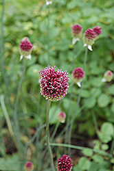 Drumstick Allium (Allium sphaerocephalon) at The Growing Place