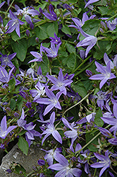 Serbian Bellflower (Campanula poscharskyana) at The Growing Place