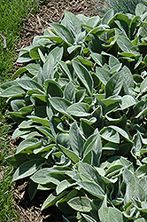 Giant Lamb's Ears (Stachys byzantina 'Big Ears') at The Growing Place