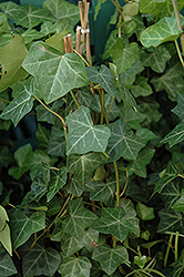 Thorndale Ivy (Hedera helix 'Thorndale') at The Growing Place