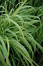 Dallas Blues Switch Grass (Panicum virgatum 'Dallas Blues') at The Growing Place