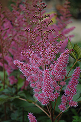 Maggie Daley Astilbe (Astilbe chinensis 'Maggie Daley') at The Growing Place