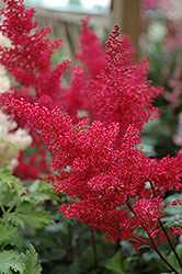 Montgomery Japanese Astilbe (Astilbe japonica 'Montgomery') at The Growing Place