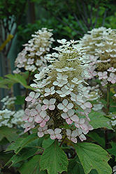 Alice Hydrangea (Hydrangea quercifolia 'Alice') at The Growing Place