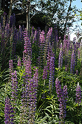 Wild Lupine (Lupinus perennis) at The Growing Place