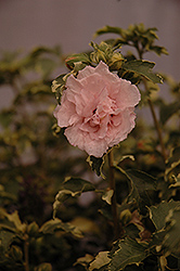 Sugar Tip® Rose of Sharon (Hibiscus syriacus 'America Irene Scott') at The Growing Place