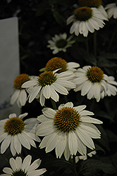 PowWow White Coneflower (Echinacea purpurea 'PowWow White') at The Growing Place