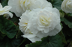 Nonstop® White Begonia (Begonia 'Nonstop White') at The Growing Place