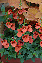 Juliet Orange Twinspur (Diascia 'Juliet Orange') at The Growing Place