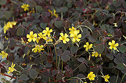 Zinfandel Shamrock (Oxalis vulcanicola 'Zinfandel') at The Growing Place