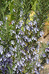 Rosemary (Rosmarinus officinalis) at The Growing Place