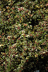 Variegated Broadleaf Thyme (Thymus pulegioides 'Foxley') at The Growing Place