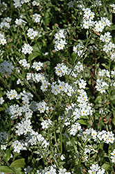 Victoria White Forget-Me-Not (Myosotis sylvatica 'Victoria White') at The Growing Place