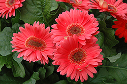 Coral Gerbera Daisy (Gerbera 'Coral') at The Growing Place