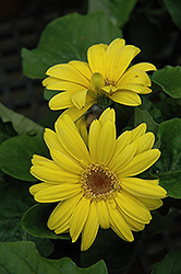 Yellow Gerbera Daisy (Gerbera 'Yellow') at The Growing Place