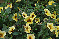 Superbells® Saffron Calibrachoa (Calibrachoa 'Superbells Saffron') at The Growing Place