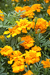 Little Hero Gold Marigold (Tagetes patula 'Little Hero Gold') at The Growing Place