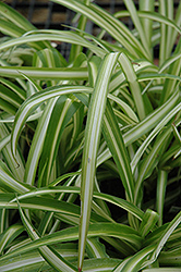 Spider Plant (Chlorophytum comosum) at The Growing Place