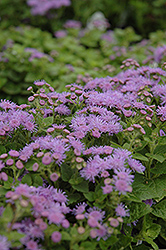 Artist Blue Flossflower (Ageratum 'Artist Blue') at The Growing Place