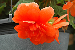 Nonstop® Orange Begonia (Begonia 'Nonstop Orange') at The Growing Place