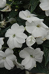 Sonic® White New Guinea Impatiens (Impatiens 'Sonic White') at The Growing Place