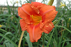 South Seas Daylily (Hemerocallis 'South Seas') at The Growing Place