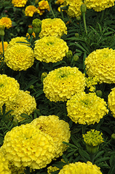 Marvel Yellow Marigold (Tagetes erecta 'Marvel Yellow') at The Growing Place