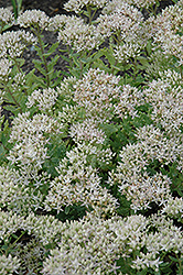 Thundercloud Stonecrop (Sedum 'Thundercloud') at The Growing Place