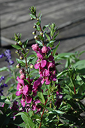 Archangel™ Raspberry Angelonia (Angelonia angustifolia 'Archangel Raspberry') at The Growing Place