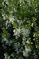 Serenita White Angelonia (Angelonia angustifolia 'Serenita White') at The Growing Place