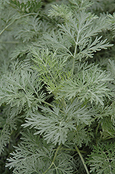 Powis Castle Artemesia (Artemisia 'Powis Castle') at The Growing Place