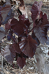 Royal Hawaiian® Black Coral Elephant Ear (Colocasia esculenta 'Black Coral') at The Growing Place