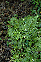 Leatherleaf Fern (Rumohra adiantiformis) at The Growing Place