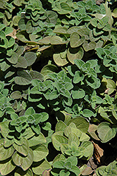 Hot And Spicy Oregano (Origanum 'Hot And Spicy') at The Growing Place