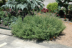 Mexican Oregano (Lippia graveolens) at The Growing Place