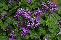 Fragrant Delight Heliotrope (Heliotropium arborescens 'Fragrant Delight') at The Growing Place