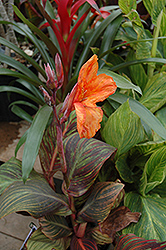 Tropicana Canna (Canna 'Tropicana') at The Growing Place