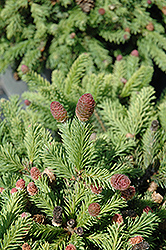 Pusch Spruce (Picea abies 'Pusch') at The Growing Place