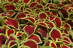 Wizard Scarlet Coleus (Solenostemon scutellarioides 'Wizard Scarlet') at The Growing Place
